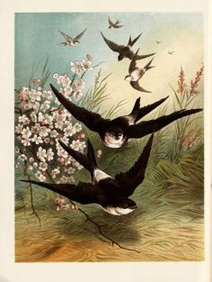 Swallows flying down toward the ground Free Vintage Antique Illustration Antique Illustration, Illustration Art, Bird Crafts, Sea Birds, Bird Art, Illustrations Posters, Illustrators, Vintage Antiques, Paper Art