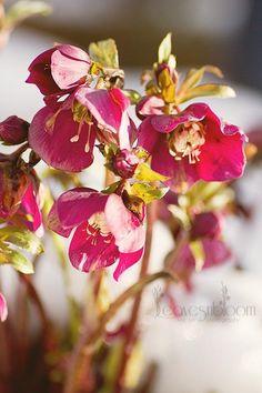 stippled-photo-34472736 Helleborus hybridus  Lenten rose