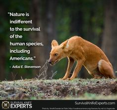 Another pinner said: The look of Dhole (Asiatic Wild Dog). The most endangered Asiatic top predator, the dhole, is on the edge of extinction. Beautiful Creatures, Animals Beautiful, Baby Animals, Cute Animals, Maned Wolf, African Wild Dog, Wild Dogs, Weird Creatures, Endangered Species
