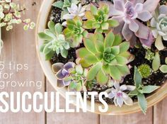 5 Tips for Growing Succulent Plants succulentsandsunshine.com