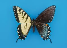 What's a bilateral gynandromorph? A bird, crustacean—or butterfly—that's a 50-50 split of male and female traits.