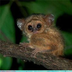 Tarsier is listed (or ranked) 52 on the list Animals with the Cutest Babies - T. - Tarsier is listed (or ranked) 52 on the list Animals with the Cutest Babies – Tarsier is listed - Cute Baby Animals, Animals And Pets, Funny Animals, Animal Babies, Strange Animals, Primates, Mammals, Young Animal, Kittens And Puppies