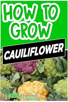 Growing cauliflower is one of the vegetables that are grown during the cooler seasons. You can easily grow cauliflower from seed in your vegetable garden. The neat thing is you can also grow cauliflower in containers or indoors if you want. The cauliflower growing tips that you will discover will make it easy to grow in a raised bed or garden. This awesome guide to growing cauliflower is all you really need to get started. #growcauliflower #growingtips #cauliflower