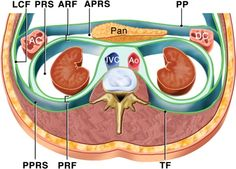 Retroperitoneum and RP Masses