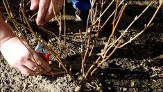 Hydrangea Annabelle snoeien in het voorjaar