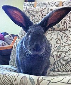 13 Best Pets Images Pets Giant Bunny Big Bunny