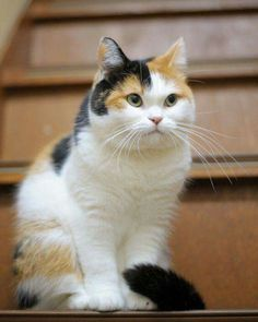 Fantastic Images Cat Breeds calico Ideas : Some individuals imagine that cats are simply just pet cats, understanding that they all are the particular same. Pretty Cats, Beautiful Cats, Animals Beautiful, Cute Animals, I Love Cats, Crazy Cats, Cool Cats, Cute Kittens, Cats And Kittens