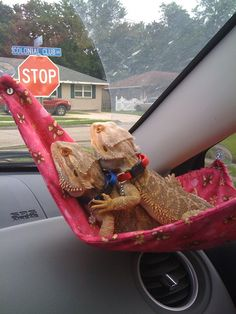 Beardies going for a ride