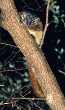 aeecls sportive lemur