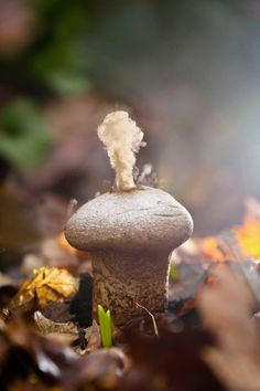 """Smoking Mushroom (puffball). Releasing spores."" - There you go... finally some spores! They are microscopic but make for a nice cloud when this family of mushrooms go off,"