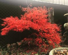 chantilly lace japanese maple Trees Online, Acer Palmatum, Maple Tree, Japanese Maple, Chantilly Lace, Garden Beds, Plants, Beautiful, Gardening