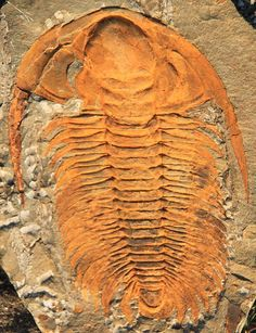 Paradoxides sp., late Cambrian.