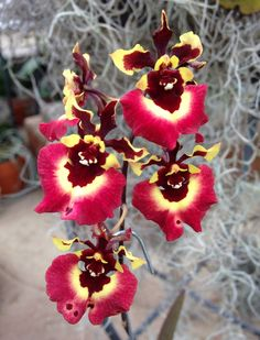 https://flic.kr/p/kXivPB | Tolumnia Genting Volcano Z-19521 | Flower - 1 inch Plant - 15 inches blooming with pot