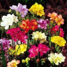 Freesia double flowering mix - 20 flower bulbs buy online order now Bulb Flowers, Large Flowers, Fresh Flowers, Beautiful Flowers, Colorful Flowers, Garden Bulbs, Planting Bulbs, Planting Flowers, Rose Of Sharon