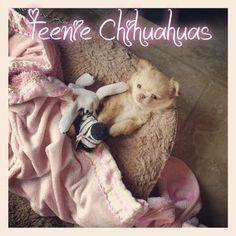 Bailey & Cajun puppy! Chihuahua puppies for sale, chihuahua for sale, chihuahua breeder, AKC chihuahuas, teacup chihuahua, Louisiana chihuahua breeder, www.teeniechihuahuas.com