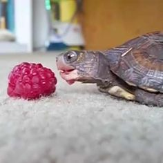 All you need in your life is this video of a baby turtle eating a raspberry