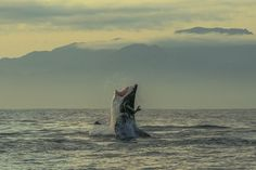 AIR JAWS   #whiteshark The Great White Shark breaching  -  awesome!      lj