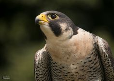 Starlight, a female Gyr/Saker falcon hybrid. Feel free to use my photos as references and stock. Please give me credit if you use my photo! I would love to see what you make, so send me a lin...