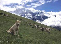 A bhote kukur (Himalayan shepherd dog) watches its flock in the foothills . #Himalayandog  #lovedog #dogs  #beautifulmountain