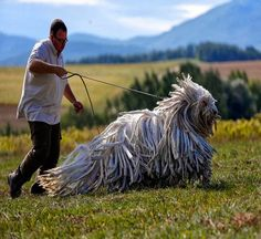 Komondors, A Traditional Hungarian Guard Dog - I think it would be cruel to keep these guys anywhere hot