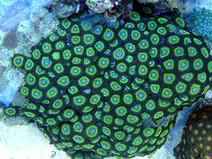 Meangreens zoanthids