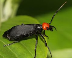 Red Head Black Body Bug Pictures