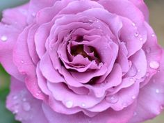 I got: Lavender Rose! What Rose Color Matches Your Personality?  Woah! It's even my favourite colour and rose! Coincidence? Maybe....