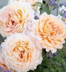 Růže keřová extra voňavá ´GROSSHERZOGIN LUISE®´ ***** Kordes 2017, 20-30 cm, kont. 2 l Kordes Rosen, Flowers, Plants, Pink, Lawn And Garden, Plant, Royal Icing Flowers, Flower, Florals