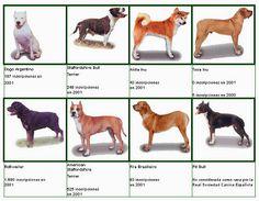 Razas de perros peligrosos - Blog de mascotas de PerrosGatosymas.es Pitbull, Pets, Google, Blog, Medium Dog Breeds, Animals, Amigos, Pit Bull, Pitbulls