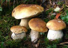 Как вырастить лесные грибы на участке?