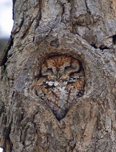 Unorthodox post but look how cozy this owl is! : CozyPlaces
