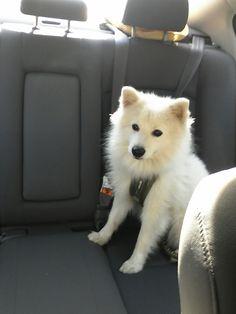 #kenjipoo #japanese Spitz #puppy