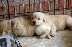 Golden Retriever puppies who are all future Leader Dogs for the Blind. Old Golden Retriever, We Were Liars, Dog Agility, Crazy Dog, Labrador Retriever, Retriever Puppies, Dog Mom, Funny Images, Cute Animals