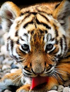 What a stunning picture of a tiger cub……