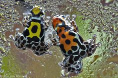 Dart Frogs, weird, I hope they are the kind that can freeze and then come back to life when warmed up!!!