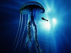 An incredible sea creature indeed, the immortal jellyfish one of the worlds most amazing animals. This interesting species of sea life is thought to have ori. Birds Wallpaper Hd, Widescreen Wallpaper, Animal Wallpaper, Medusa, Giant Jellyfish, Journey 2, Underwater Photography, Sea Creatures, Pet Birds