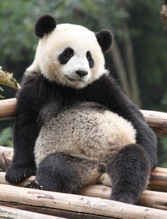 I am bored by this - panda Panda Love, Love Bear, Cute Panda, Panda Funny, Brown Panda, Animal Pictures, Cute Pictures, Panda's Dream, Super Cute Animals