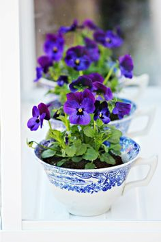 Sweet purple pansies growing in teacups