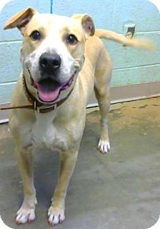 ACT QUICKLY OUT OF TIME PLEASE SHARE NOW IT SAVES LIVES THANK YOU  Decatur, GA - Labrador Retriever/Pit Bull Terrier Mix. Meet Quince, a dog for adoption. http://www.adoptapet.com/pet/15975963-decatur-georgia-labrador-retriever-mix