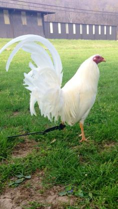 White Butcher Game Fowl