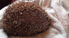 A hedgehog was rescued by a sanctuary after he was found with his spines cut off in the kitchen of a University of Sheffield hall of residence. | A Little Hedgehog Who Had His Spines Chopped Off Has Now Been Rescued - BuzzFeed News