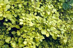 Find help & information on Berberis thunbergii 'Aurea' golden Japanese barberry from the RHS Garden Shrubs, Flowering Shrubs, Landscaping Tips, Garden Landscaping, Japanese Barberry, Small Shrubs, Garden Borders, Foliage Plants, Garden Theme