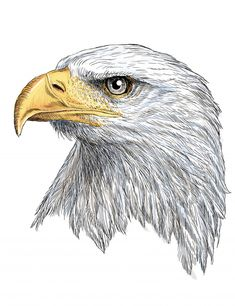 Head of bald eagle hand draw and paint on white Premium Vector Pencil Drawings Of Animals, Animal Sketches, Bird Drawings, Drawings Of Eagles, Drawing Faces, Feather Drawing, Feather Painting, Eagle Feather Tattoos, Eagle Head Tattoo