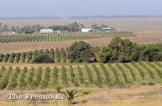 Blueberry bushes, foreground, and vineyards, at the site of the Tesoro Viejo development in Madera County, looking west towards Avenue 15, at top. JOHN WALKER — THE FRESNO BEE