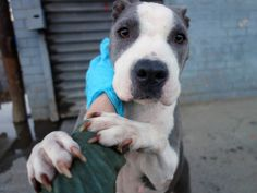 SUPER URGENT - Brooklyn Center   RIHANNA - A0991948  ***AVERAGE SAFER ***   FEMALE, GRAY / WHITE, STAFFORDSHIRE MIX, 5 yrs  OWNER SUR - EVALUATE, NO HOLD Reason INAD FACIL   Intake condition NONE Intake Date 02/18/2014, From NY 11230, DueOut Date 02/18/2014  https://www.facebook.com/photo.php?fbid=762179703794911&set=a.762179653794916.1073742994.152876678058553&type=3&theater