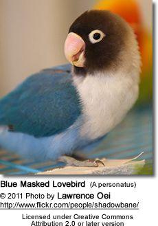 Black-Masked Lovebird, blue mutation