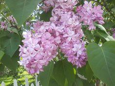Beautiful Lilacs from Macinaw Island.