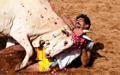 A bull tamer holds a bull by the horn during the bull-taming sport called Jallikattu, in Alanganallur, about 530 kilometers (331 miles) south of Chennai, India, Wednesday, Jan. 16, 2013. Jallikattu is an ancient heroic sporting event of the Tamils played during the harvest festival of Pongal. (AP Photo/Arun Sankar K.)