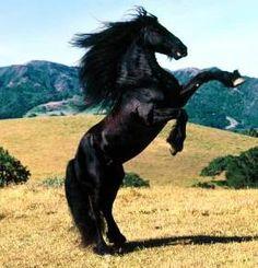 caballo frison - Buscar con Google