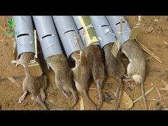 Mouse traps - How to make rat traps with PVC pipes # 2 Wild Animals Attack, Animal Attack, Survival Tips, Survival Skills, Chicken Plucker, Giant Snake, Rat Traps, Mouse Traps, Pest Control